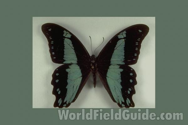 Papilio Bromius Mâle Central Africa