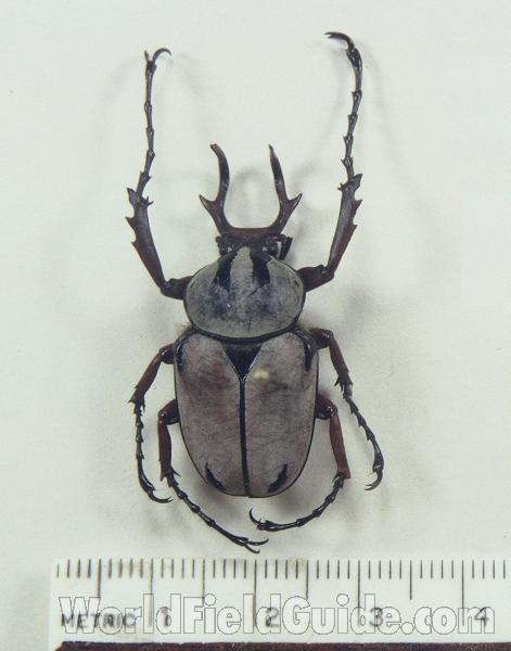 DICRANOCEPHALUS ADAMSI from CHINA COLEOPTERA CETONIINAE